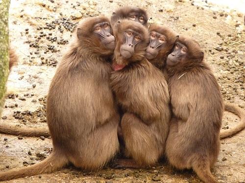baboons-4371_640