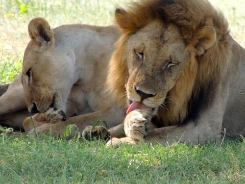 lions-175933_640