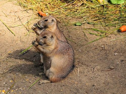 marmots-412892_500