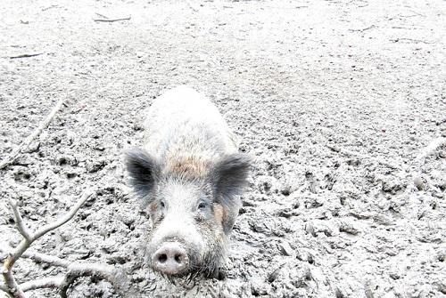 wild-boar-195459_500