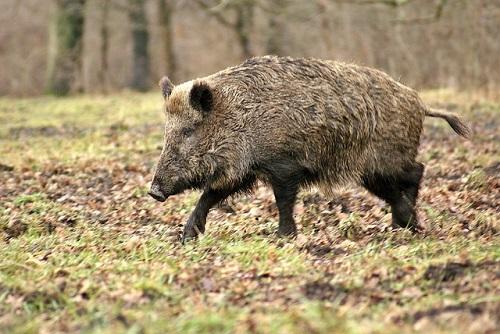 wild-boar-70420_500