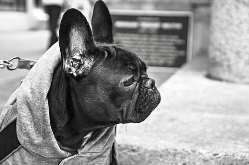 bulldog-238514_500